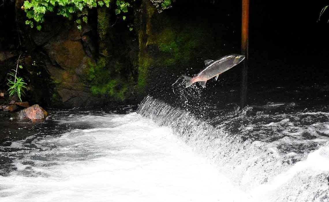 La sabiduría del salmón